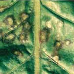 Cercospora2.jpg