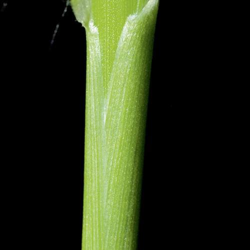 Setaria glauca01.jpg