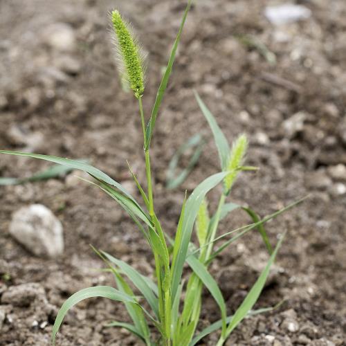 Setaria viridis03.jpg