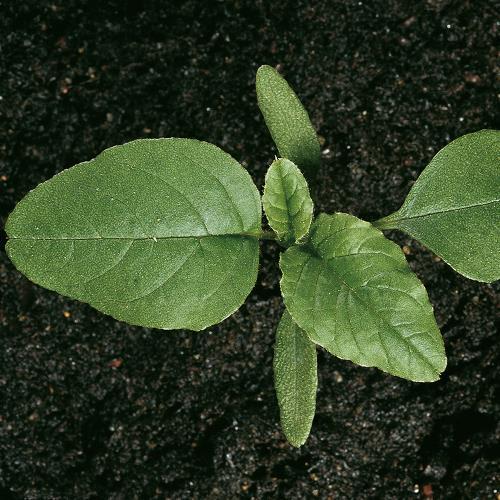 Amaranthus hybridus02.jpg