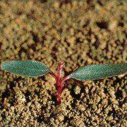 Amaranthus lividus01.jpg