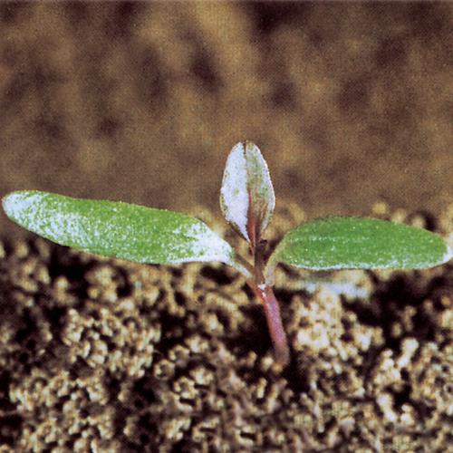 Amaranthus retroflexus01.jpg