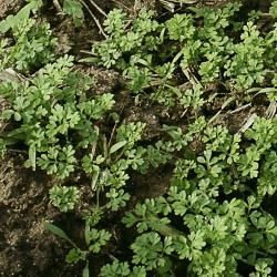 Anthriscus caucalis02.jpg