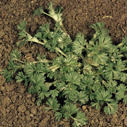 Aphanes arvensis04.jpg