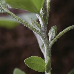 Chenopodium album03.jpg