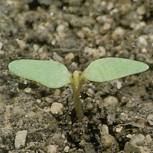Chenopodium polyspermum01.jpg