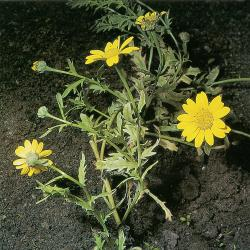 Chrysanthemum segetum03.jpg