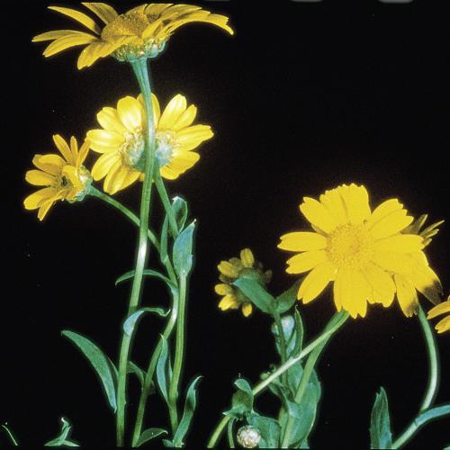 Chrysanthemum segetum04.jpg