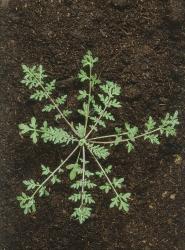 Descurainia sophia02.jpg