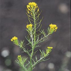 Descurainia sophia03.jpg