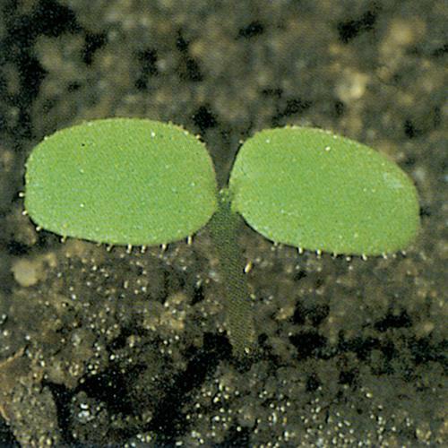 Galinsoga parviflora01.jpg