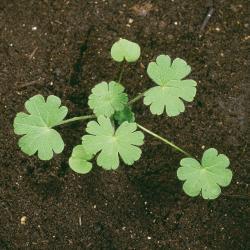 Geranium molle02.jpg
