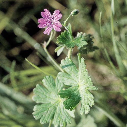 Geranium molle03.jpg