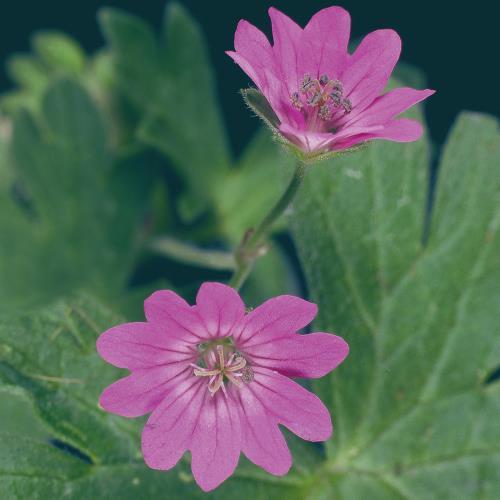 Geranium molle04.jpg