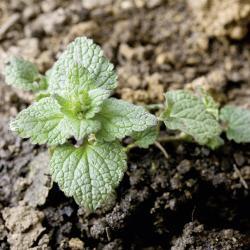 Lamium purpureum02.jpg