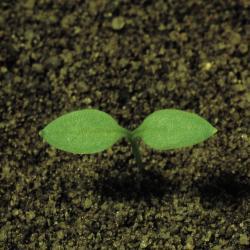 Matricaria chamomilla01.jpg