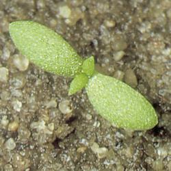 Matricaria matricarioides01.jpg