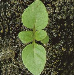 Mentha arvensis02.jpg