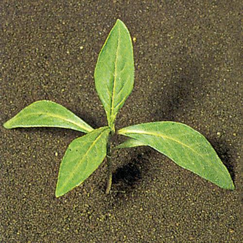 Polygonum persicaria02.jpg