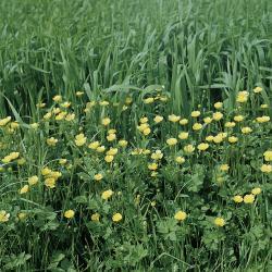 Ranunculus acris02.jpg