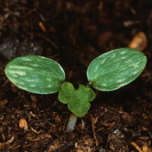 Ranunculus repens01.jpg