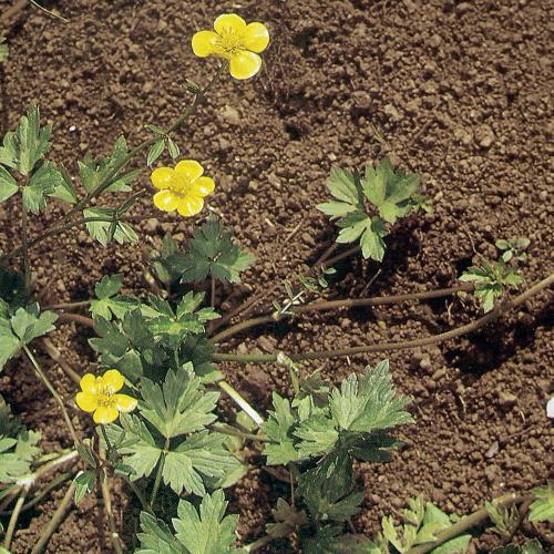 Ranunculus repens03.jpg