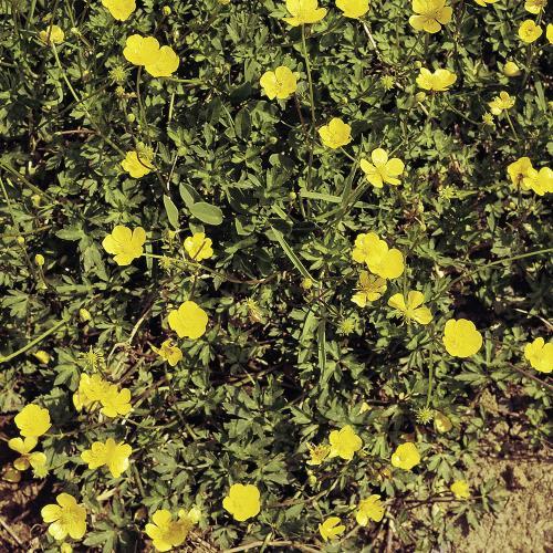 Ranunculus repens04.jpg