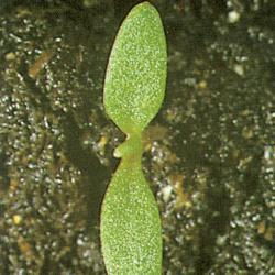 Senecio vulgaris01.jpg