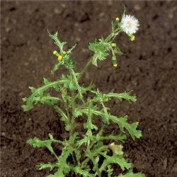 Senecio vulgaris03.jpg