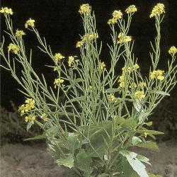 Sinapis arvensis04.jpg