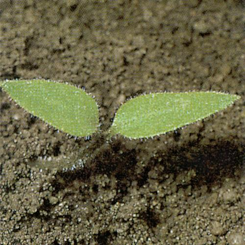Solanum nigrum01.jpg