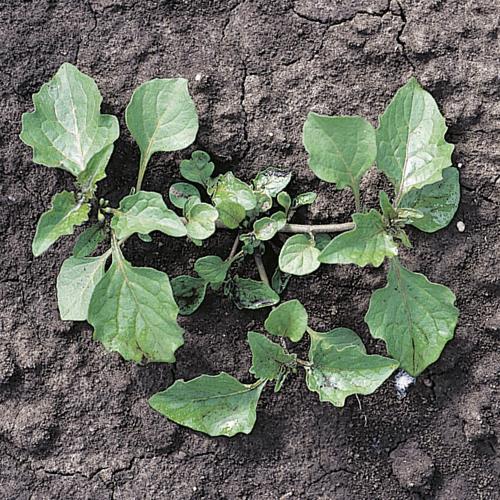 Solanum nigrum03.jpg