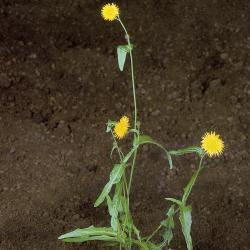 Sonchus arvensis03.jpg