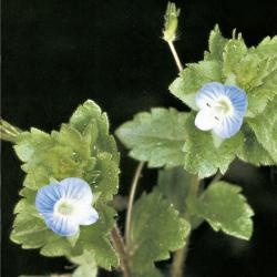 Veronica agrestis03.jpg