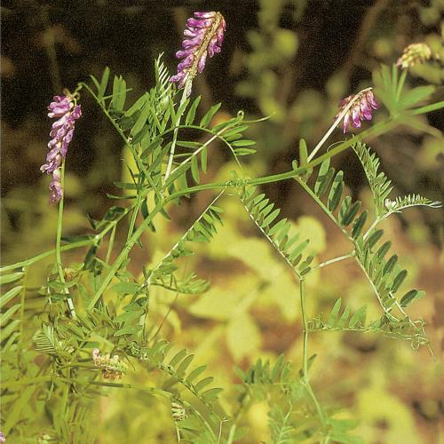 Vicia cracca03.jpg