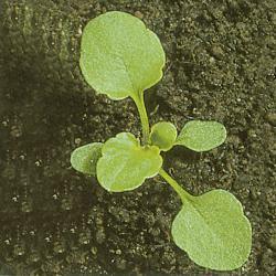 Viola arvensis02.jpg