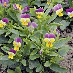Viola tricolor02.jpg