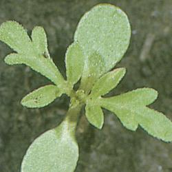 Ambrosia artemisiifolia01.jpg