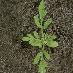 Ambrosia artemisiifolia02.jpg