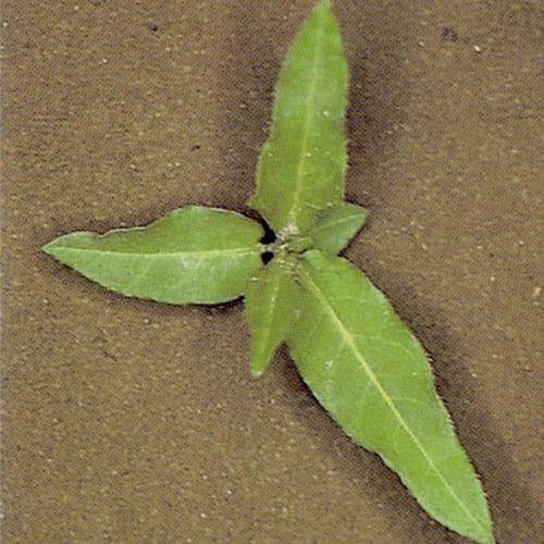 Polygonum amphibium01.jpg